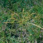 Yellow Nutsedge,Cyperus esculentus, Monocot, Summer perennial